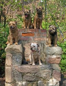 Kennel Hjelmes Border Terrier på stenstol