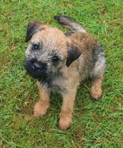 Kennel Hjelme Border Terrier hvalp