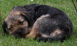 Kennel Hjelme boder terrier