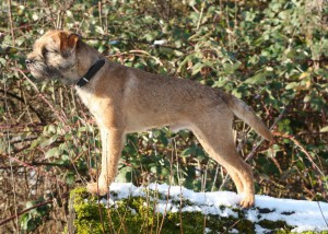 Kennel Hjelme Border Terrier GLEBEHEATH LEWIS N´HJELME