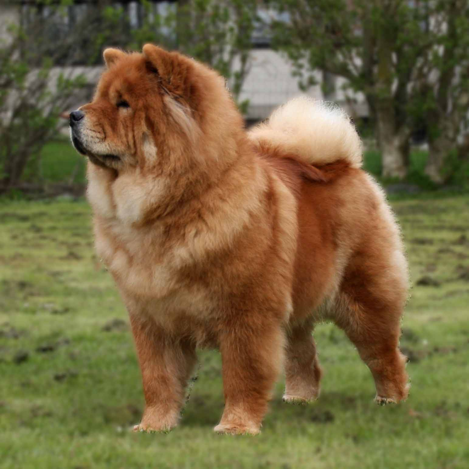 Chow Chow Puppy Dogs Black